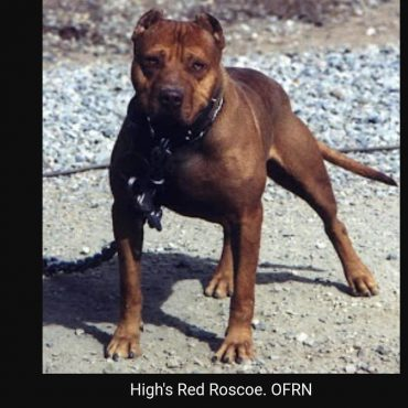 An old photo of a Red Nose Pitbull with an Old Family strain