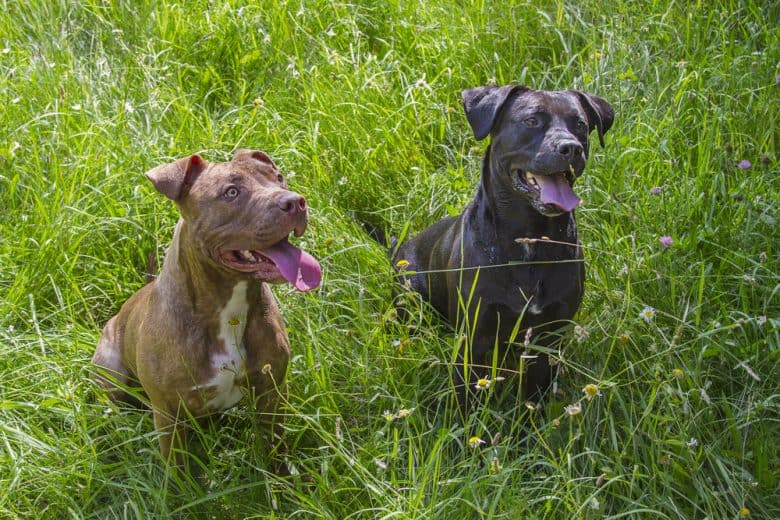Red Nose Pitbull and Blue Nose Pitbull standing in the middle of grass