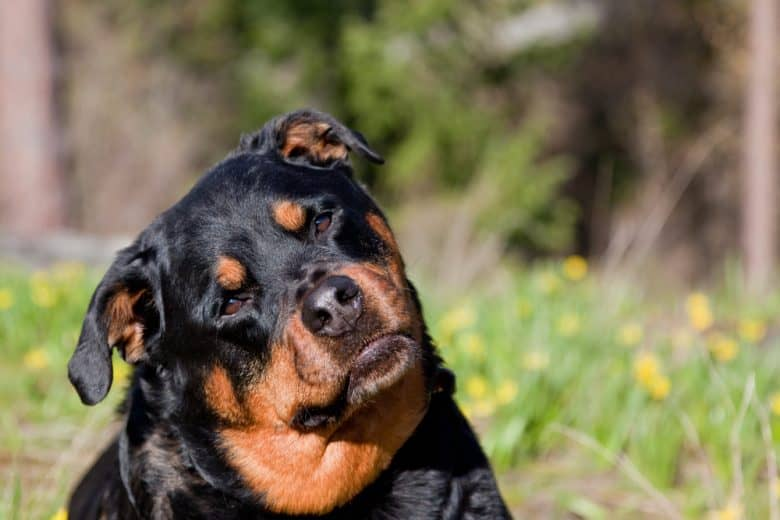 Rottweiler with its head tilted and a curious expression
