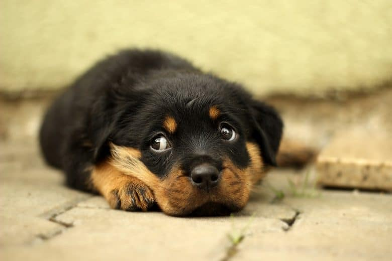 A sleepy Rottweiler puppy