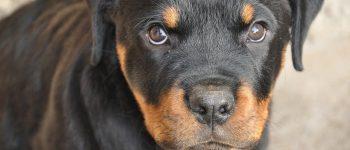 Close up of a Rottweiler