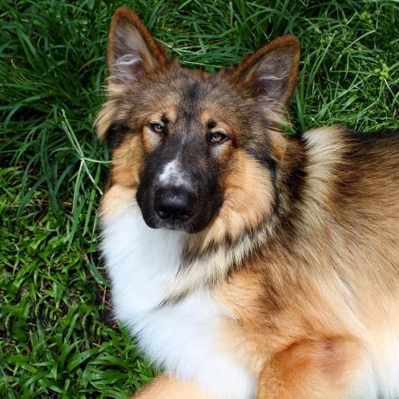 Native American Indian Dog and German Shepherd mix