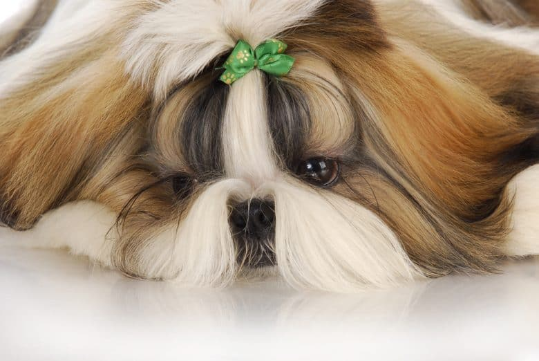 Long-haired Shih Tzu lying with its head on the floor