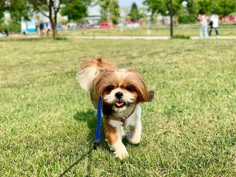 Shih Poo running outdoors at the park