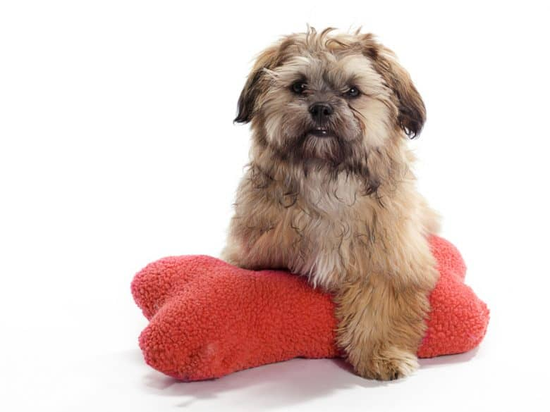 Shih Poo laying on a red pillow
