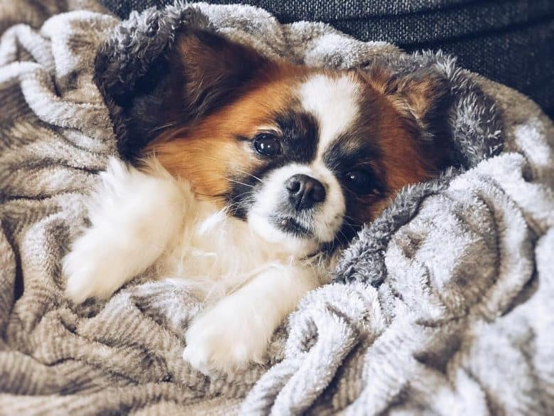Shih Tzu Chihuahua Mix laying in a blanket and looking at the camera
