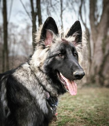 Close-up of a Shiloh Shepherd standing in the woods