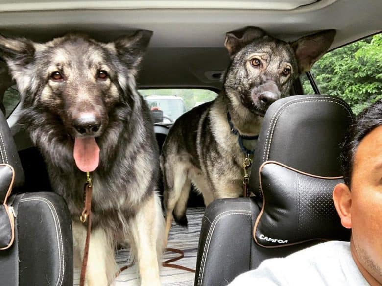 Two Shiloh Shepherds standing in the back of a car