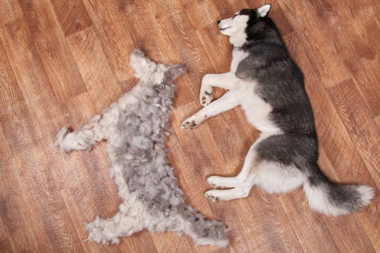 Siberian Husky lying on the floor beside a pile of loose fur