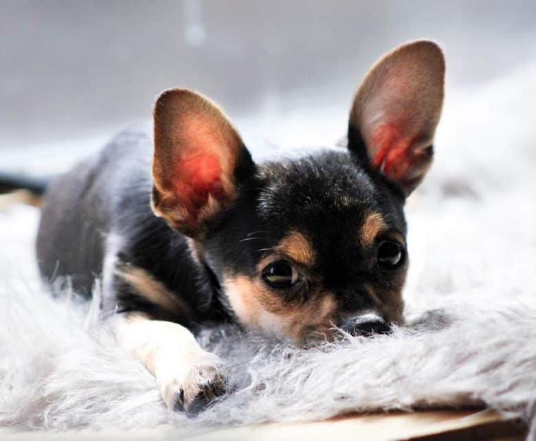Deer-head Teacup Chihuahua lying down with its head on the floor