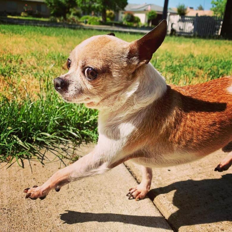 Teacup Chihuahua walking in the sun, one leg raised