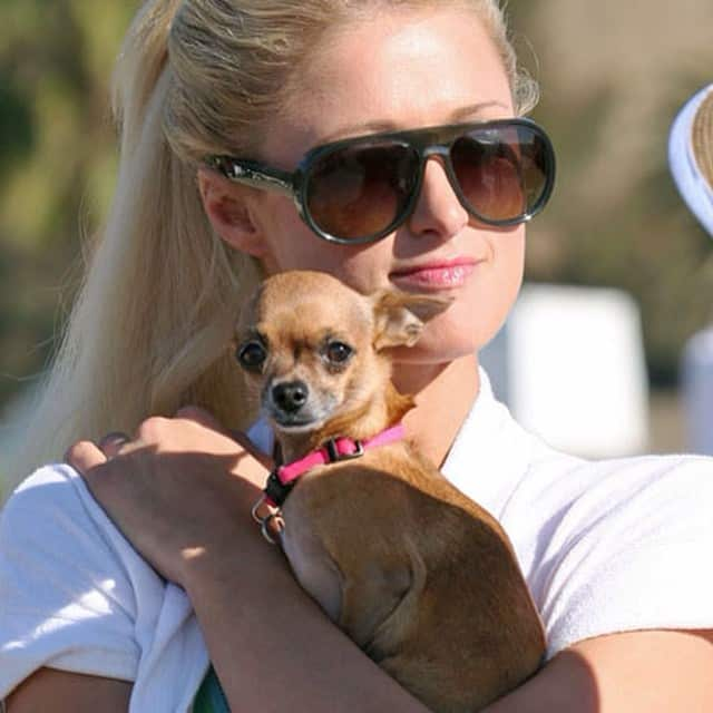 Tinkerbell Hilton the Teacup Chihuahua in Paris Hilton's arms