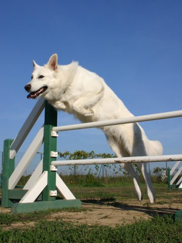 A White Shepherd jumping over a hurdle