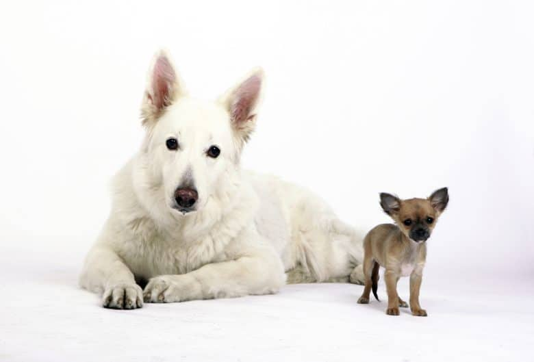 a white shepherd beside a chihuahua