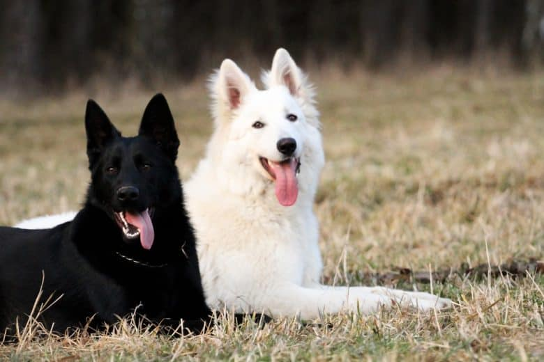 White German Shepherd