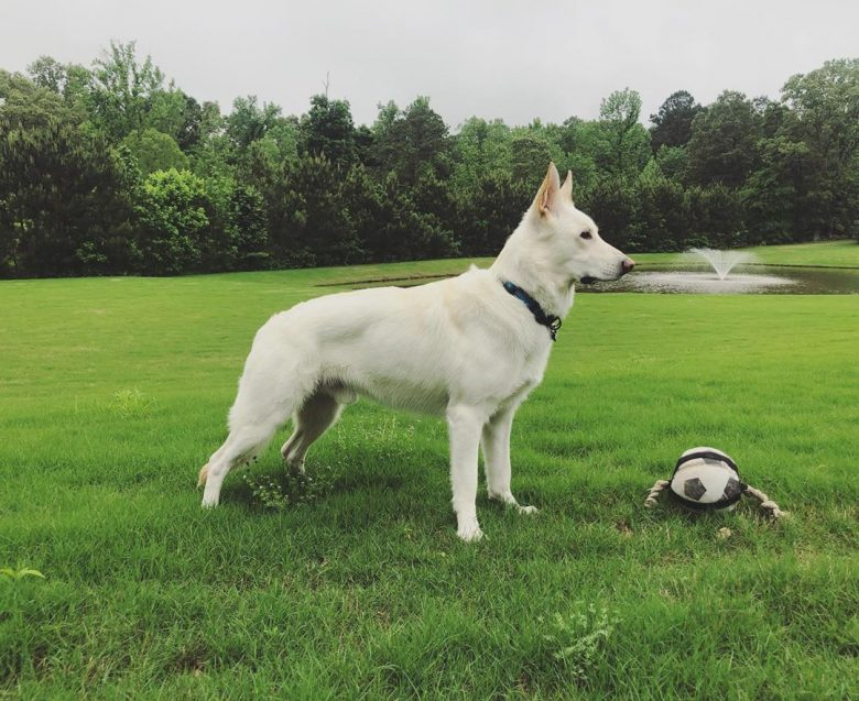 White German Shepherd with a toy standing in a field outdoors