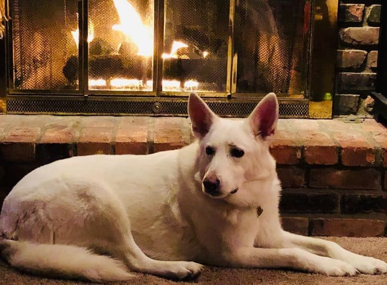 White German Shepherd lying in front of a fireplace