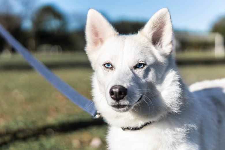 Close-up of a White Siberian Husky on a leash outdoors