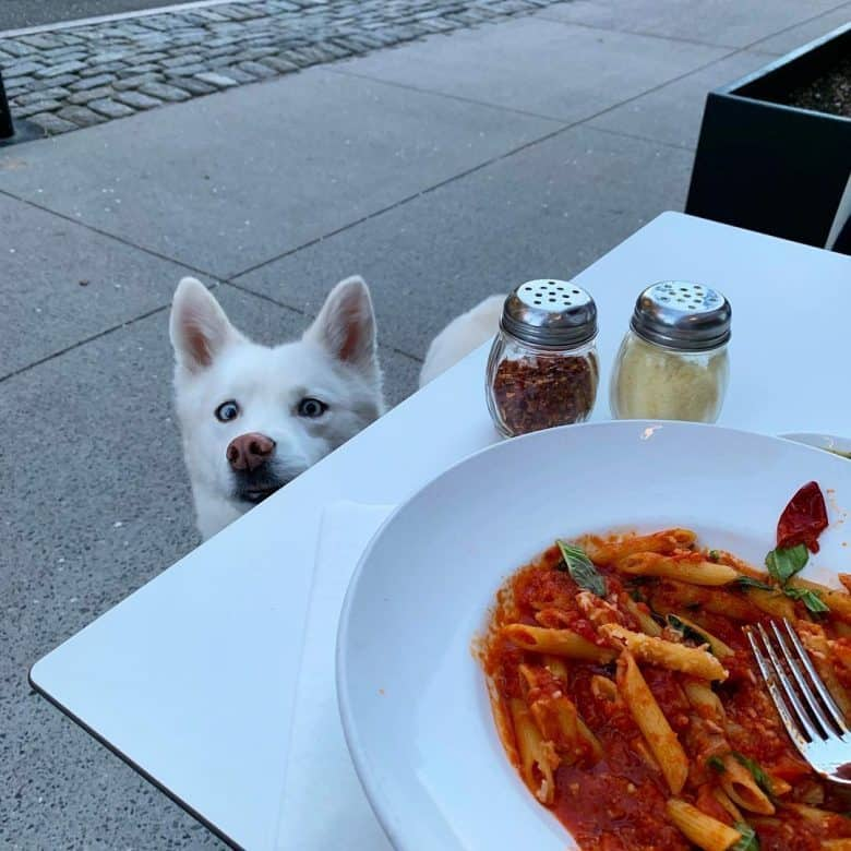 White Husky peeking at his owner during a meal
