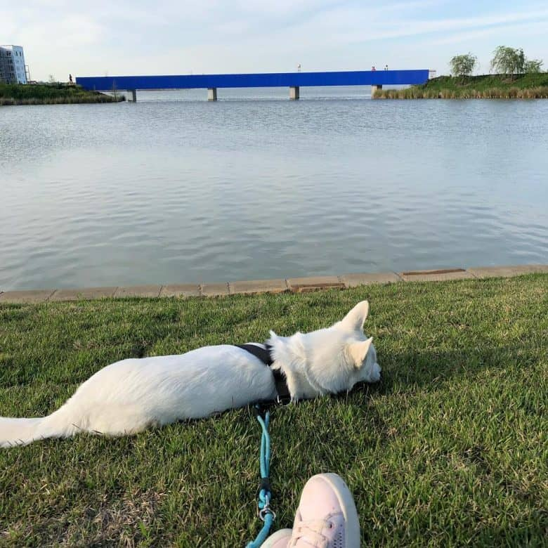 White Siberian Husky laying in the grass by the water