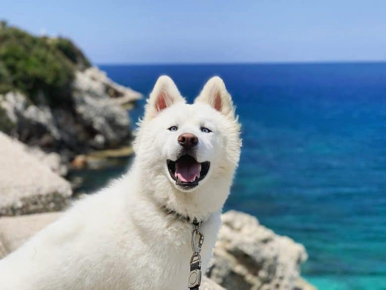 White Husky smiling at the camera while standing on a cliff