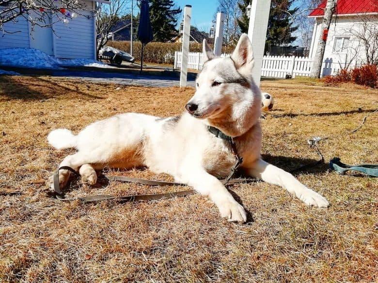 White Alaskan Husky lying in the sunshine in the backyard