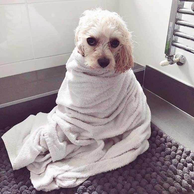 Cavalier-Bichon Frise cross wrapped in a towel on the floor