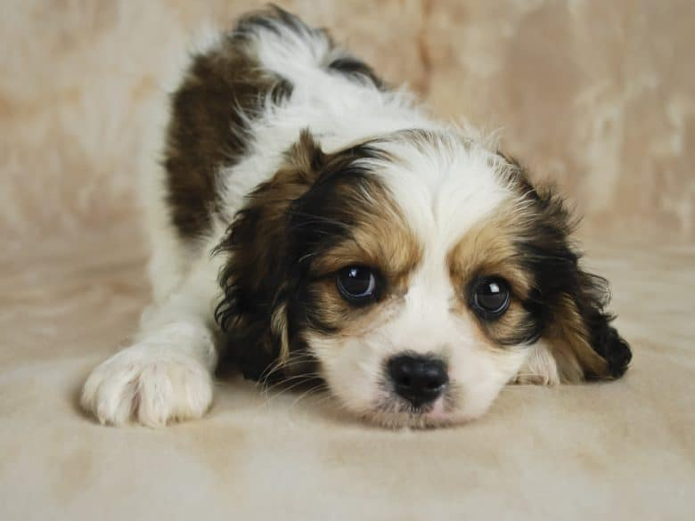 Cavachon Facts About The Perfect