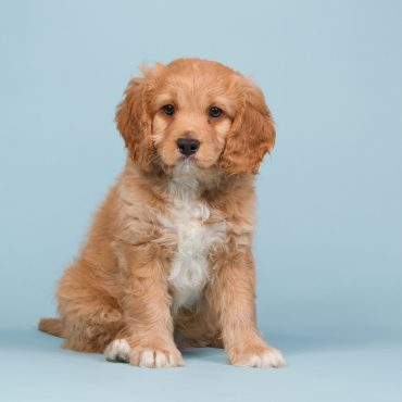 Cavapoo with blue background