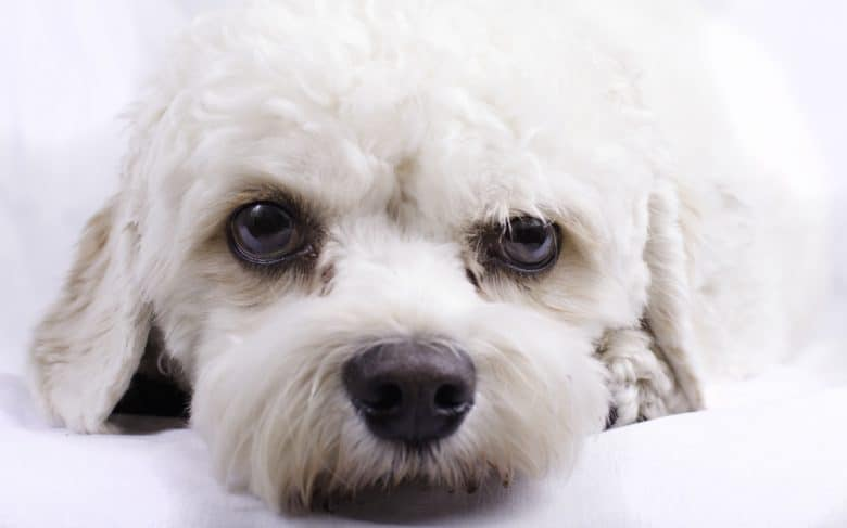portrait of a white cavapoo