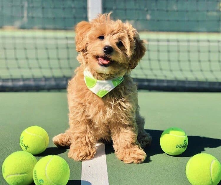 Happy Cavapoo standing on a tennis court with tennis balls
