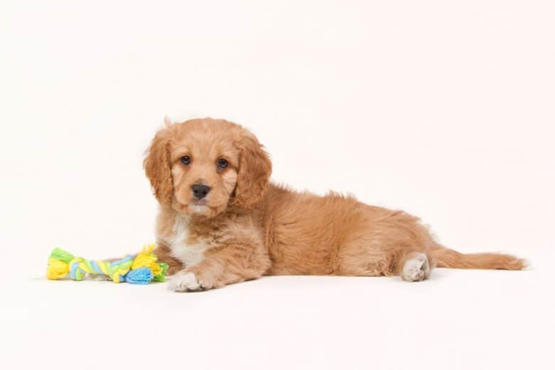 Apricot colored Cavapoo puppy lying down with a toy