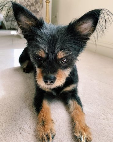 chihuahua yorkie mix with a new haircut