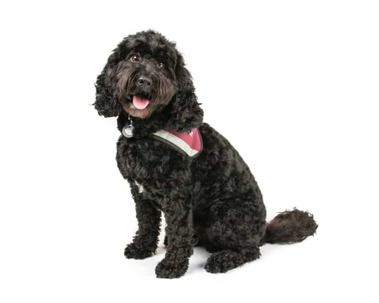 black cockapoo with white background