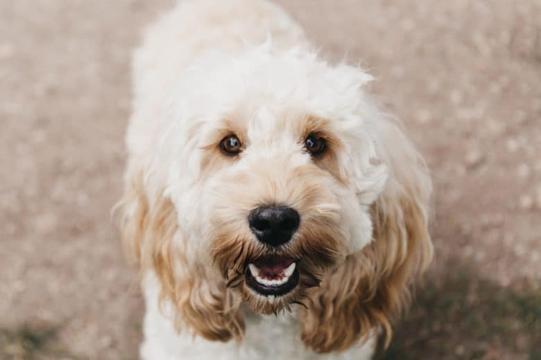 white cockapoo