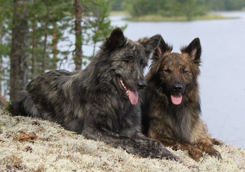 Two long-haired Dutch Shepherds side by side on the ground