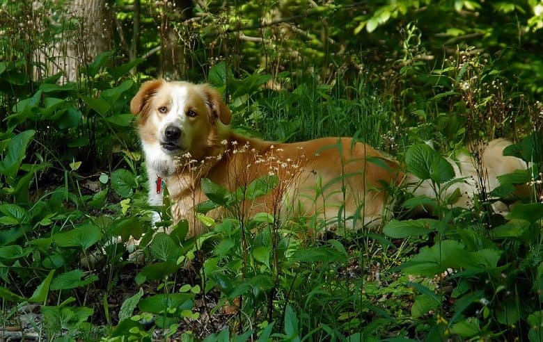 English Shepherd with a sable coat lying on the forest floor