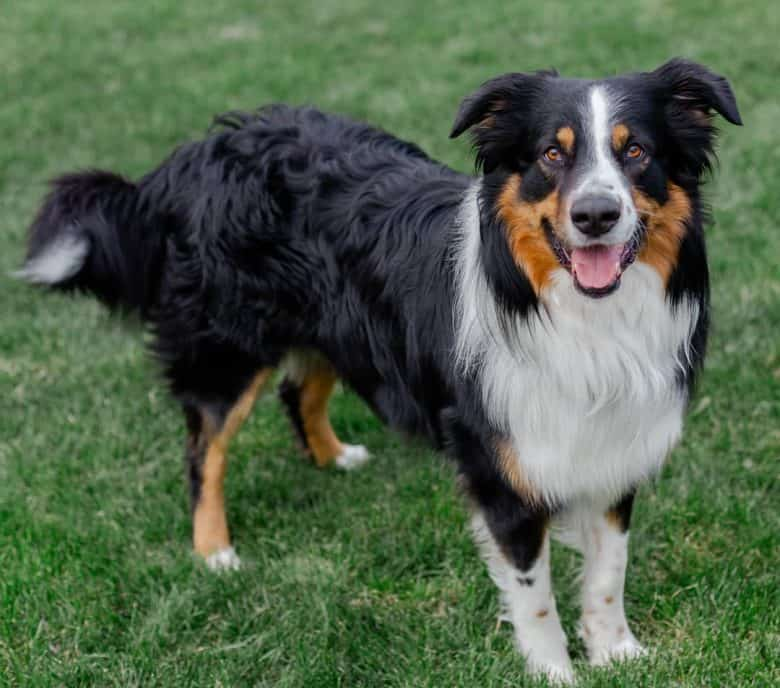 Tri-colored English Shepherd standing and looking at the camera