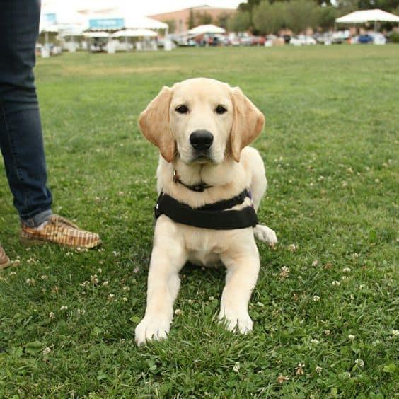 Goldador service dog in training