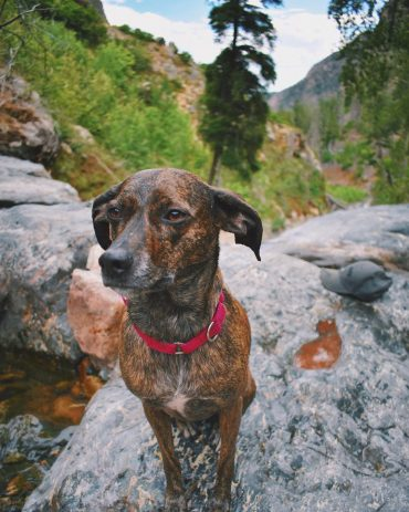 Mountain Cur on top of a rock during a hike