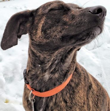 A Mountain Cur with its eyes closed looking stubborn
