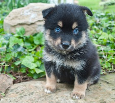 Pomsky puppy with blue eyes sitting on a rock outdoors