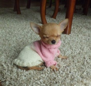 The Teacup Chihuahua Answering Your