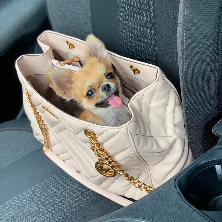 teacup chihuahua in a purse
