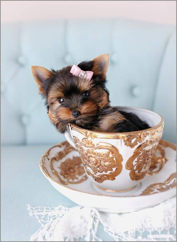 Teacup Chorkie sitting in a cup with a ribbon in its hair