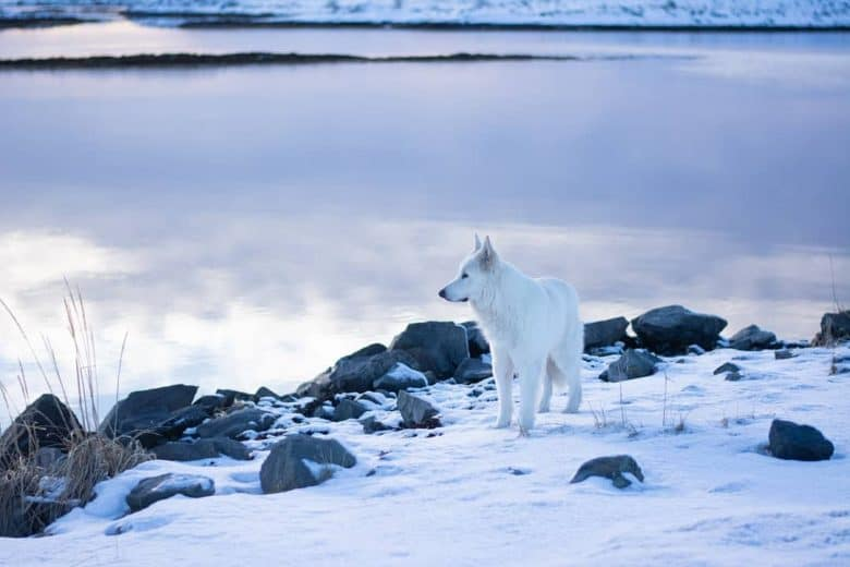 White Shepherd standing in the snow by a lake