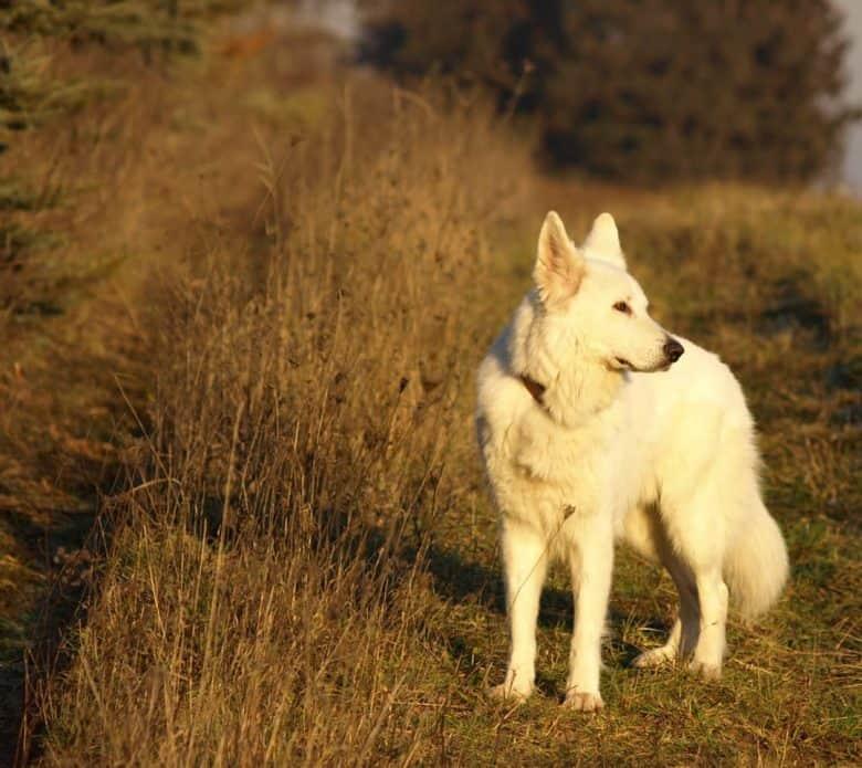 White Shepherd on grasslands