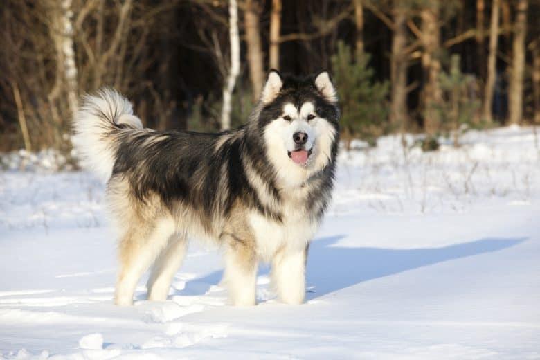 A gorgeous Alaskan Malamute walking on the snow