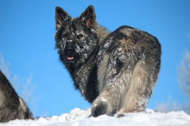 American Alsatian covered in snow during winter