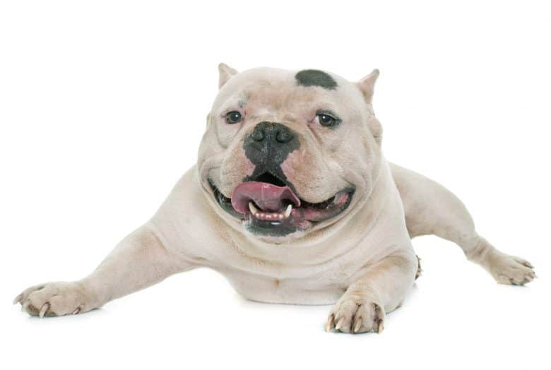 White American Bully lying down
